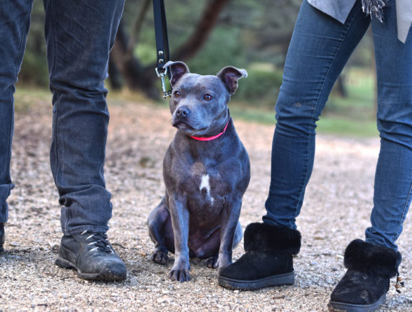 Pearl – Americain Staffordshire Bull Terrier – 1 an