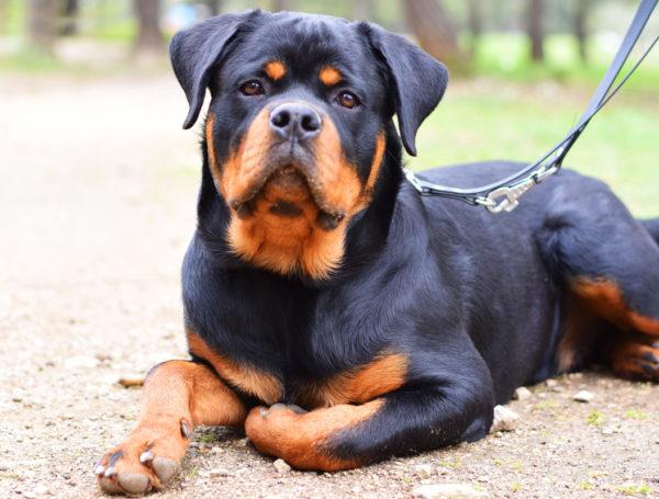Rogue – Rottweiler – 7 mois