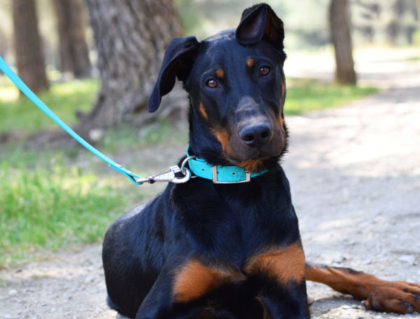 Roby – Beauceron – 6 mois