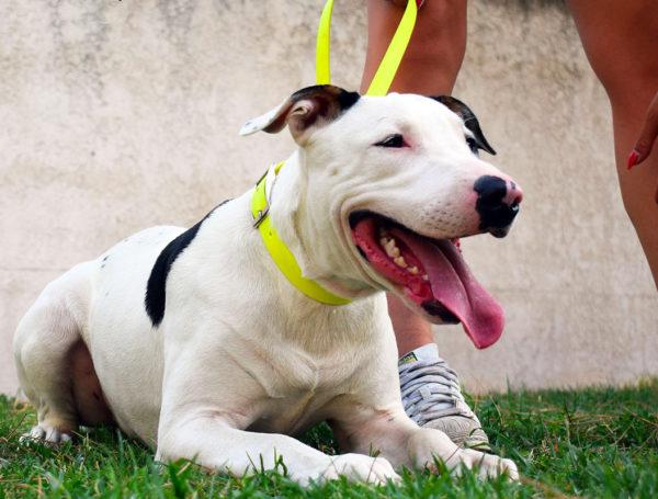 Noah – 1 an – X Bull terrier